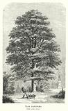 Tilia Europaea, The Lime Tree