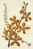 Vanda Batemanii Grandiflora