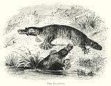 Australia: The Platypus