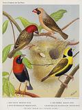 Red-Faced Weaver-Bird, Red-Beaked Weaver-Bird, Oryx or Grenadier Weaver-Bird, Black-Bellied or Napoleon Weaver-Bird
