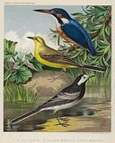 King-Fisher, Yellow-Wagtail, Pied-Wagtail
