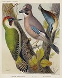 Green Woodpecker, Jay, Nuthatch