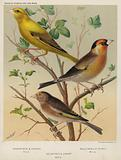 Greenfinch and Canary Mule, Bullfinch and Goldfinch Mule, Goldfinch and Linnet Mule