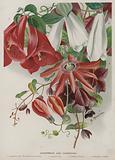 Lapagerias and Passiflora