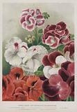 Fancy, Show, and Decorative Pelargoniums