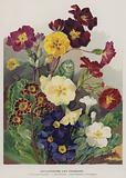 Polyanthuses and Primroses