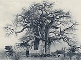 A Baobab Tree