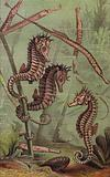 Sea-Horses and Pipe-Fish