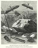 The Metamorphoses of the Caddis Flies, Phryganea flavicornis, Phryganea rhombica, and Phryganea fusca