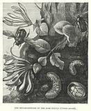 The Metamorphoses of the Rose Beetle, Cetonia aurata