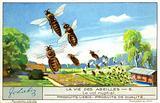 Mating flight of a queen bee