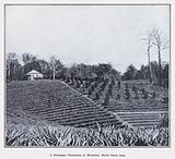 A Pineapple Plantation at Woombye, North Coast Line