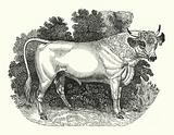 Chillingham Cattle