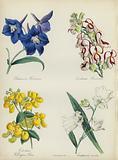 English Flower Garden: Delphinium Hendersonu, Antirrhinum Hendersonu, Calceolaria Wellinton Hoero, Campanula coronata