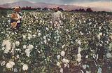 Cotton field in Peru