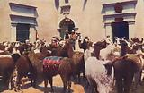 Llamas arriving with wool at the warehouses of Stafford & Co, Arequipa, Peru