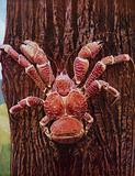 A robber crab climbing a coconut palm, Christmas Island, Indian Ocean