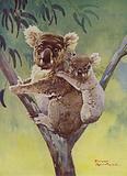 Koala bear abd joey in a eucalyptus tree, Australia
