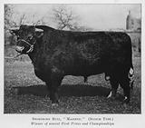 Shorthorn Bull, Majestic, Scotch Type, Winner of several First Prizes and Championships