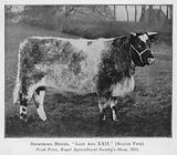 Shorthorn Heifer, Lady Ann XXII, Scotch Type, First Prize, Royal Agricultural Society's Show, 1911