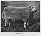 Kerry Hill Ram, First Prize, Royal Agricultural Society's Show, 1910 and 1911