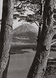Fuji and the Pine Trees