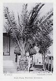 Date palm, Western Australia