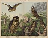 Accipitres, Owls