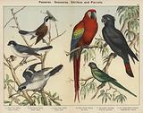 Passeres, Scansores, Shrikes and Parrots