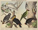 Scansores, Parrots, Woodpeckers