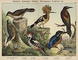 Scansores, Syndactylae, Passeres; Woodpecker, Kingfisher