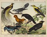 Passeres, Cuckoo, Bird of Paradise