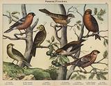 Passeres, Finches