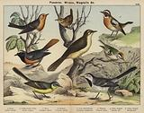 Passeres, Wrens, Wagtails