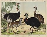 Gallinae, Cursores, Grallatores, Bustard and Ostriches