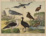 Grallatores, Palmipedes, Wading and Swimming Birds