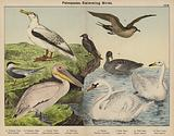 Palmipedes, Swimming Birds