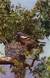 Chaffinch at nest