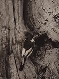 Male pied flycatcher at nesting hole
