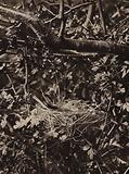 Garden warbler on nest