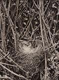 Hedge sparrow on nest