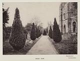 British Trees: Irish Yew, Buckminster, Leicestershire