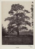 British Trees: Alder, Bentley, Suffolk