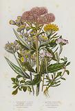 Flowering Plants of Great Britain: Common Hemp Agrimony, Flax Leaved Goldilocks, Mountain Everlasting, Pearly …