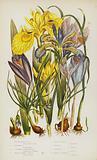 Flowering Plants of Great Britain: Yellow Water Iris, Stinking Iris, Columnas Trichonema, Purple Spring Crocus, Least …