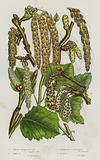 Flowering Plants of Great Britain: Great White Poplar, Grey Poplar, Trembling Poplar or Aspen, Black Poplar