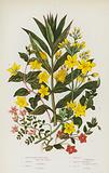 Flowering Plants of Great Britain: Great Yellow Loosestrife, Tufted Loosestrife, Wood Loosestrife, Creeping …
