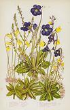 Flowering Plants of Great Britain: Common Vervain, Common Butterwort, Large Flowered Butterwort, Alpine Butterwort, …