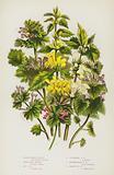 Flowering Plants of Great Britain: Yellow Weasel Snout, White Dead Nettle, Red Dead Nettle, Cut Leaved Dead Nettle, …