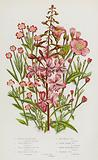 Flowering Plants of Great Britain: Rose-Bay Willow Herb, Great Hairy Willow Herb, Small Flowered Hairy Willow Herb, …